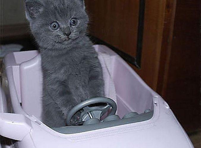 Прикольные картинки коты с надписями за рулем
