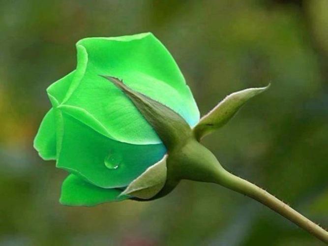 Лилия, открытки редкие цветы