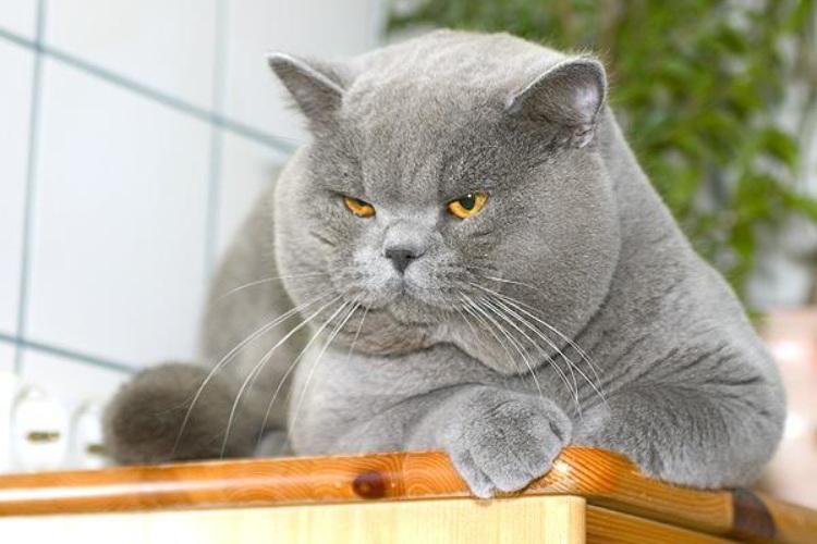 Смешные коты британцы картинки, болеть