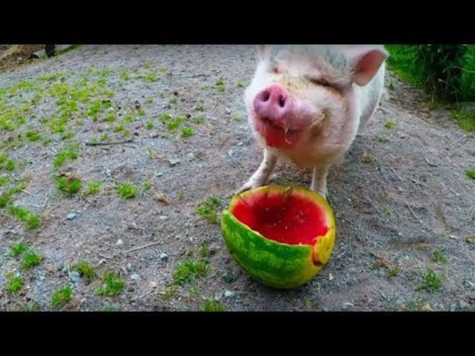 Прикольное поздравление с наступающим новым годом свиньи как