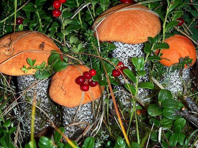 Картинки грибы лес ягоды